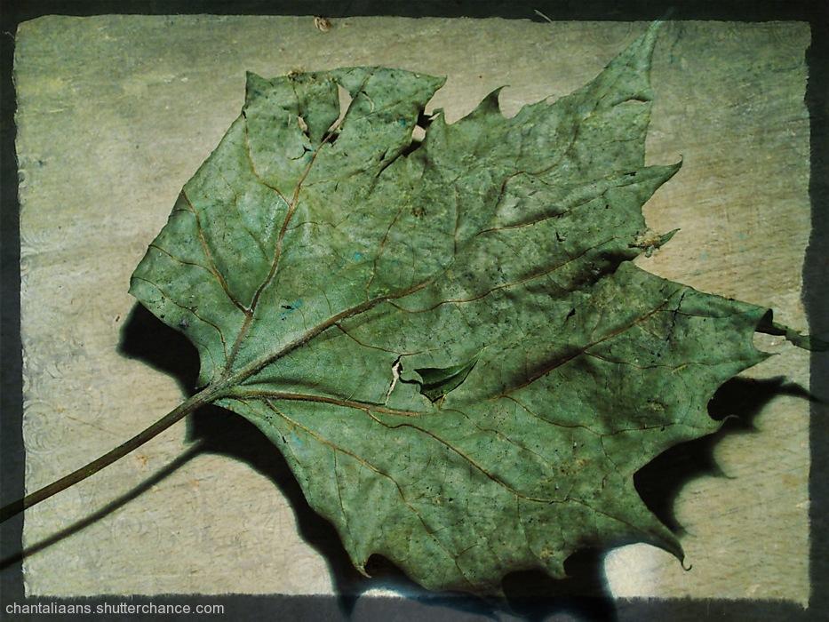 photoblog image Dried leaf 2/3